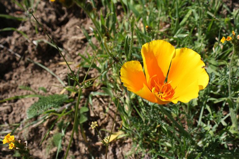 Kaliforniermohnblume (eschscholzia californica)