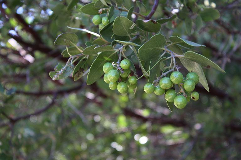 Grüne Beeren in einem Baum