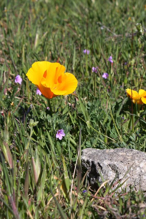 Kaliforniermohnblumen und ein Stein