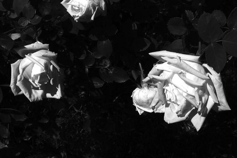 weiße Rosen bei meinen Eltern; 11. Mai 2006