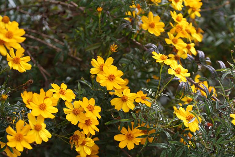 gelbe Blumen auf Hearst & Gayley; 17. März 2009