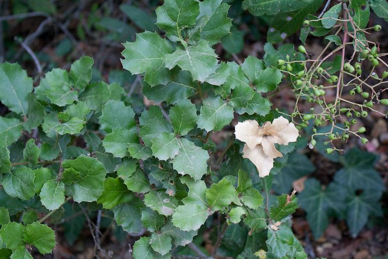Eichen (quercus agrifolia)