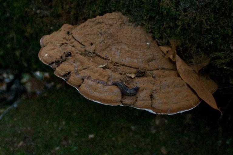 Eine Nachtschneke auf einem Stück Pilz
